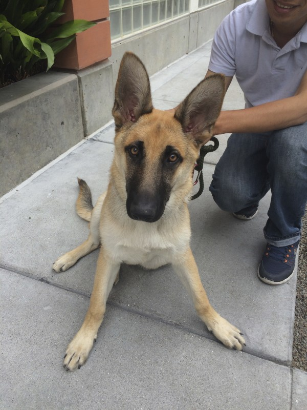 German Shepherd Puppy With Huge Ears Sitting On A Sidewalk