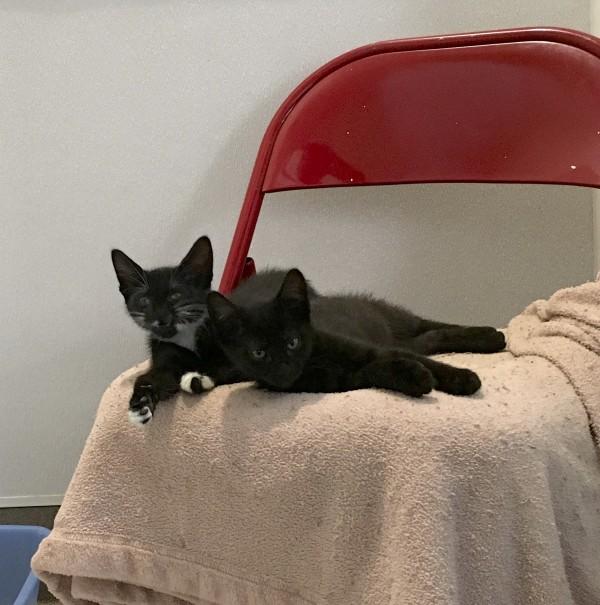 A Black Kitten And A Tuxedo Kitten Cuddling On A Chair