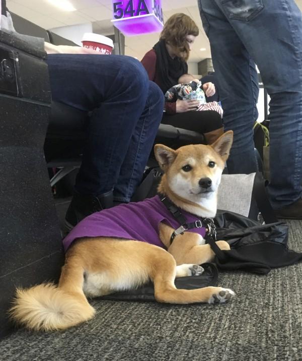 Assistance Shiba Inu In A Purple Vest