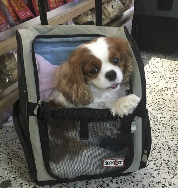 Cavalier King Charles Spaniel In A Travel Bag