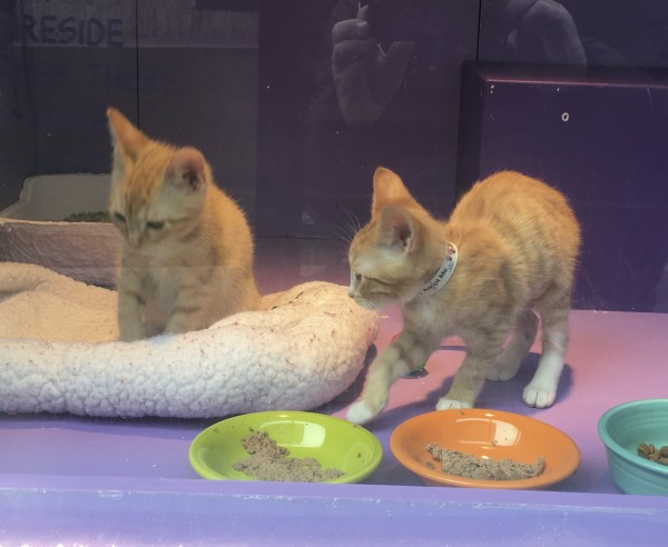 Two Macy's Marmies, Marmalade Tiger Tabby Kittens In A Shop Window