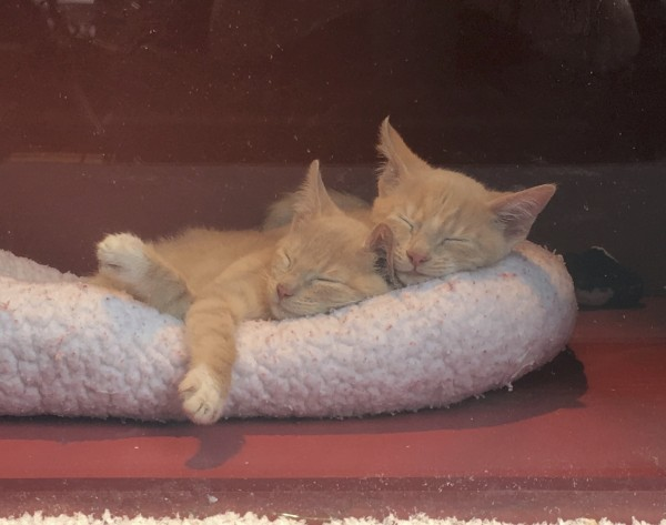 Two Marmies (Marmalade Tiger Kittens) Cuddling In Their Sleep