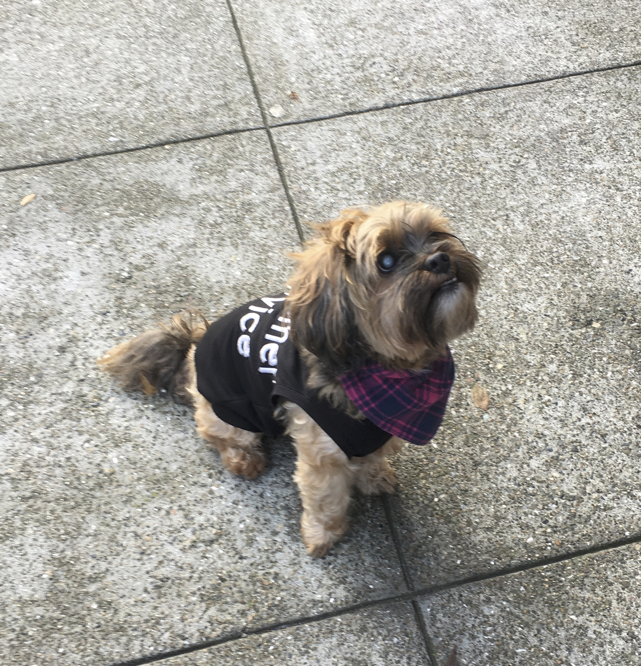 Yorkshire Terrier Shih Tzu Mix Wearing A Shirt That Says Customer Service