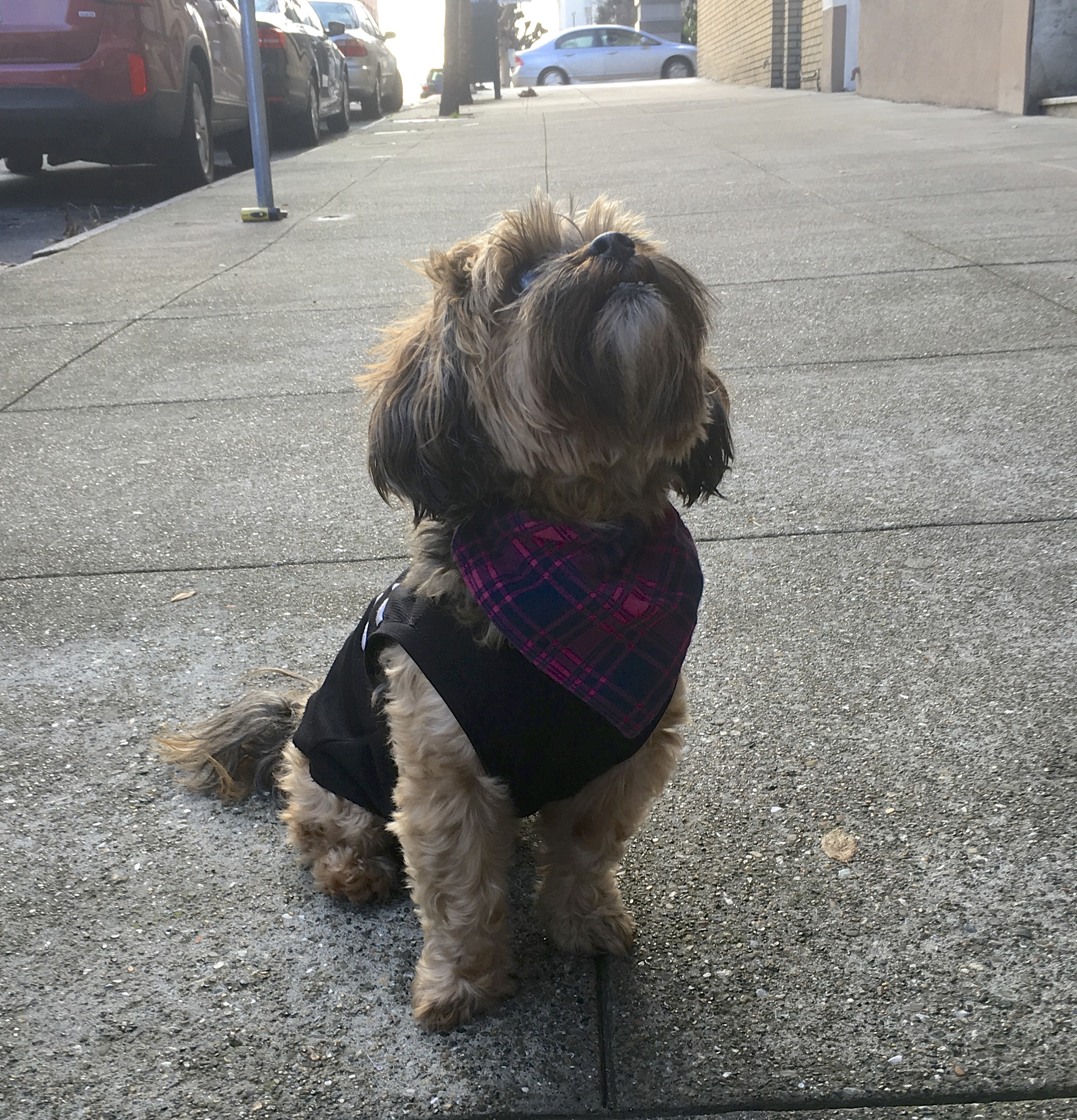 Yorkshire Terrier Shih Tzu Mix Looking Noble