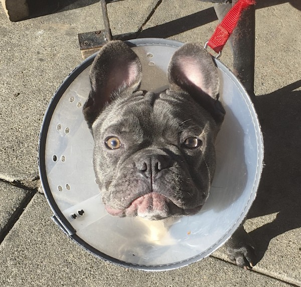 Blue French Bulldog Puppy In Cone Of Shame