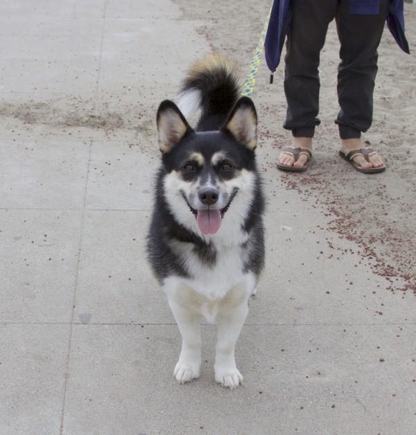 Huskorgi (Husky Corgi Mix Dog) Grinning