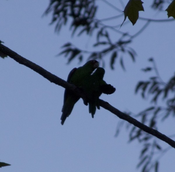 The Parrots Of Telegraph Hill: Two Silhouetted Parrots Grooming One Another