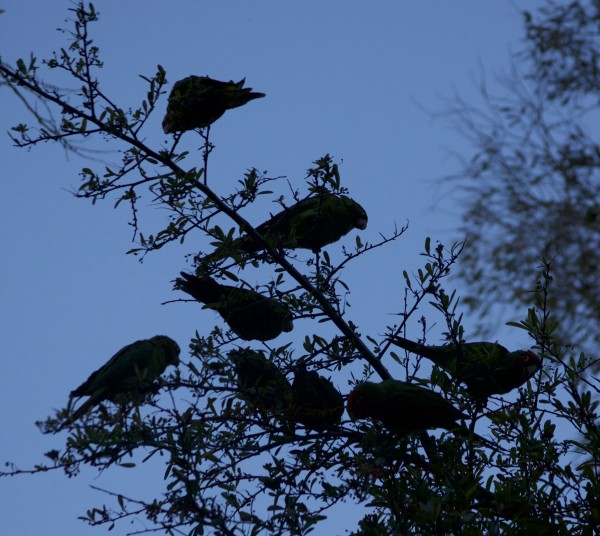 The Parrots Of Telegraph Hill: Eight Parrots Silhouetted Against The Sky