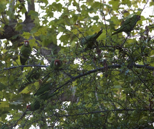 The Parrots Of Telegraph Hill: A Bunch Of Parrots In A Tree