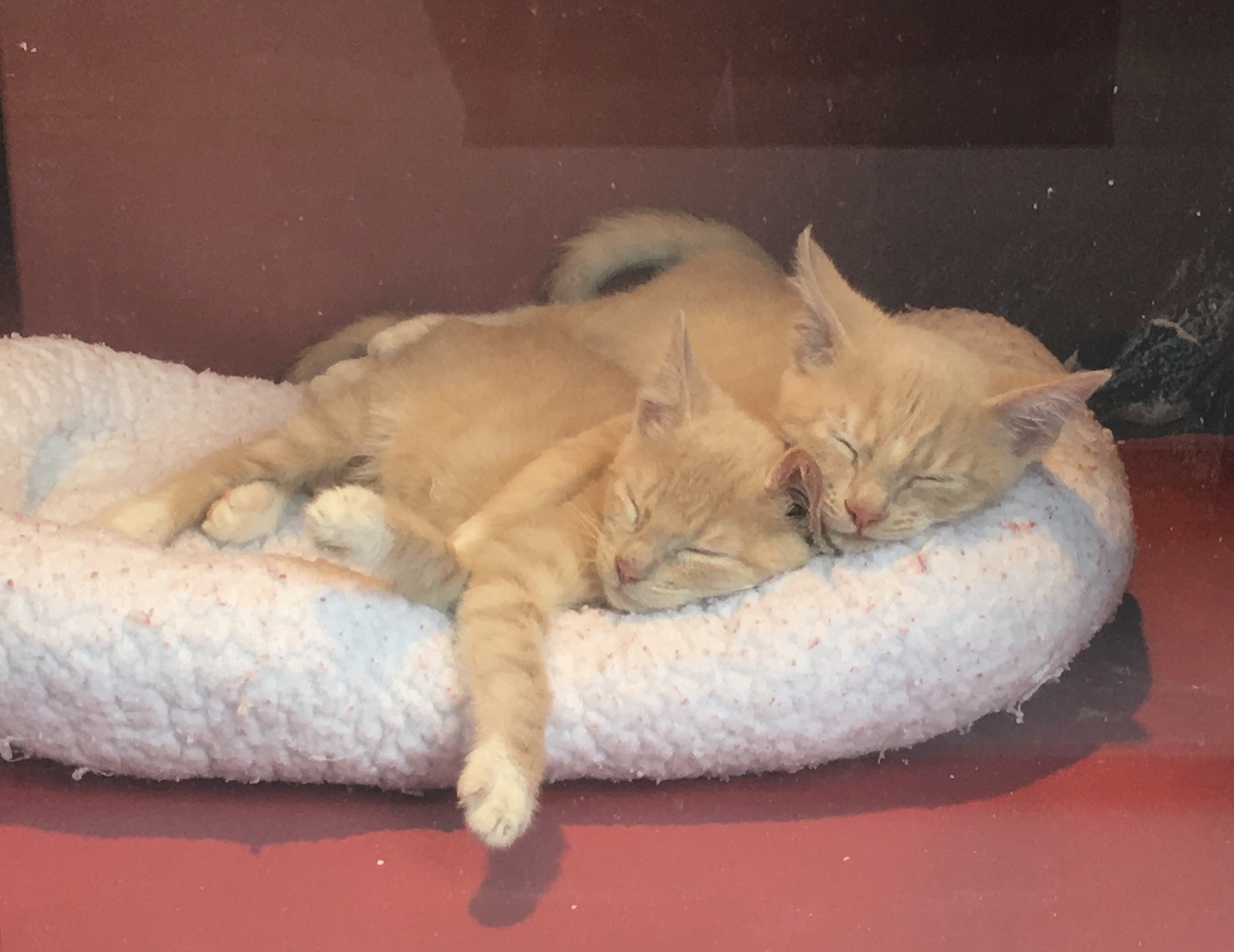 Marmalade Kittens Sleeping Squooshed Together