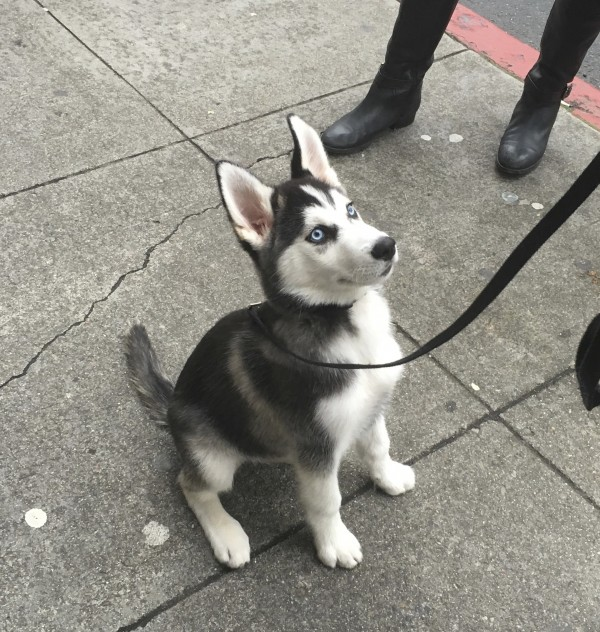 Thor, an Adorable 4 Month Old Siberian Husky Puppy
