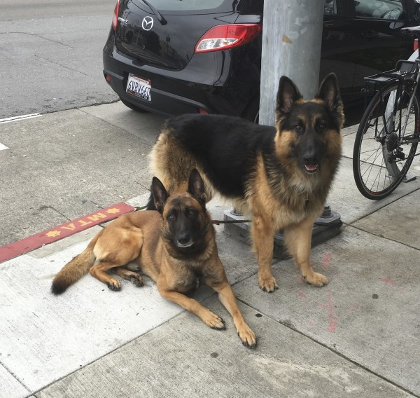 Two Belgian Shepherds, A Malinois And A Tervuren, Posting