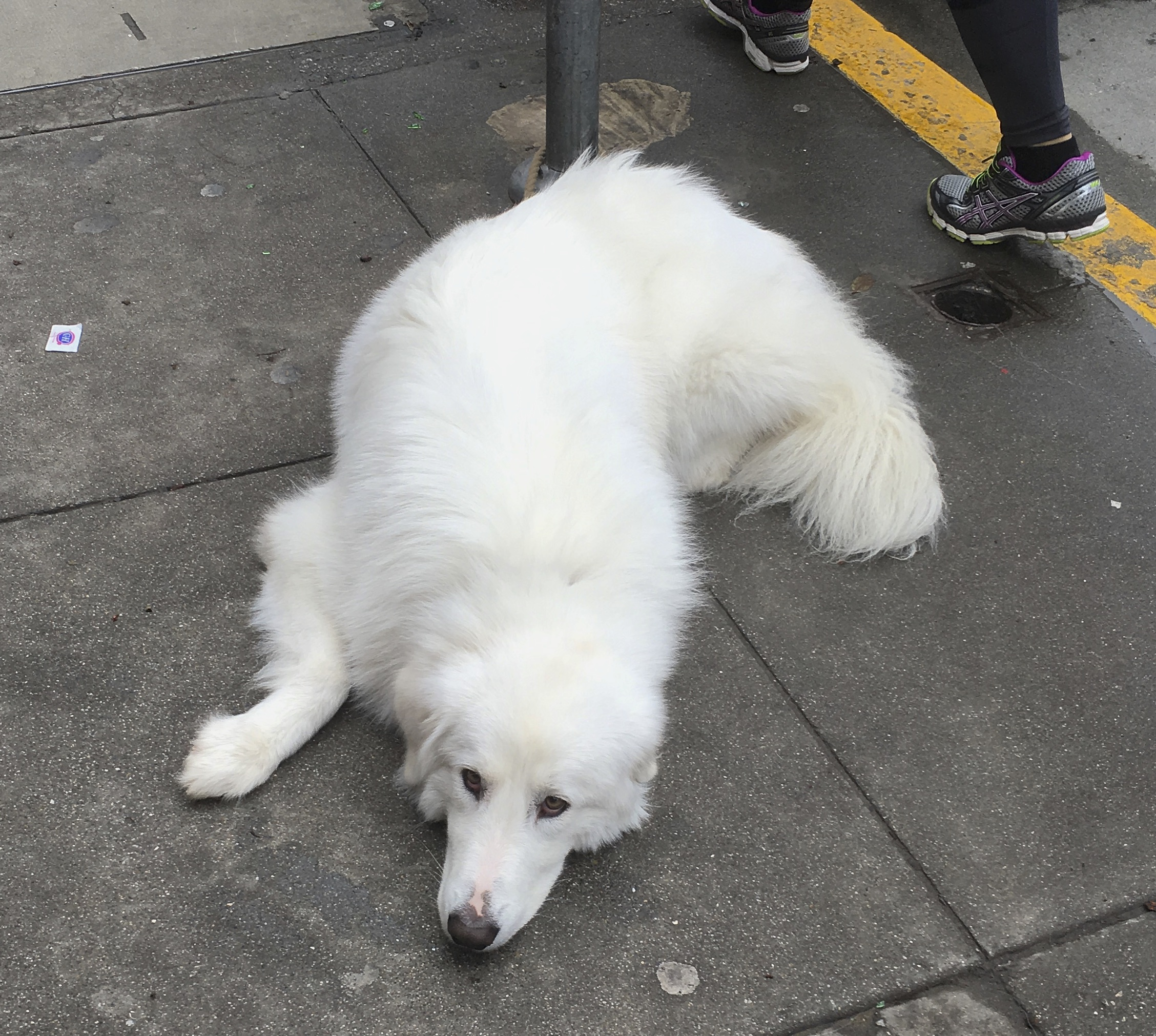 Maremma Sheepdog Lying On The Sidewalk Looking Woeful