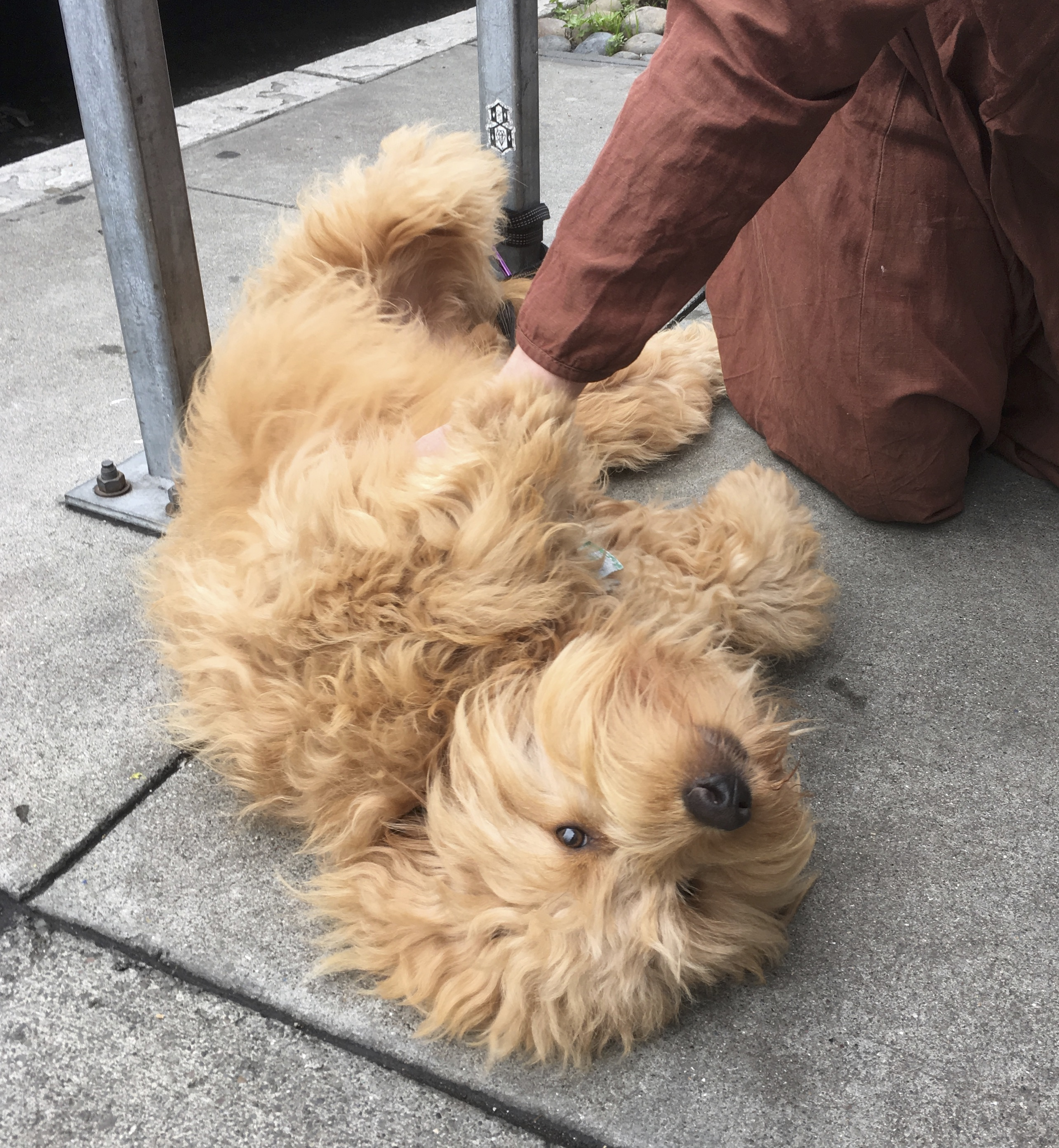 Woman Petting Fluffy Goldendoodle Who Is Lying On His Back On The Sidewalk