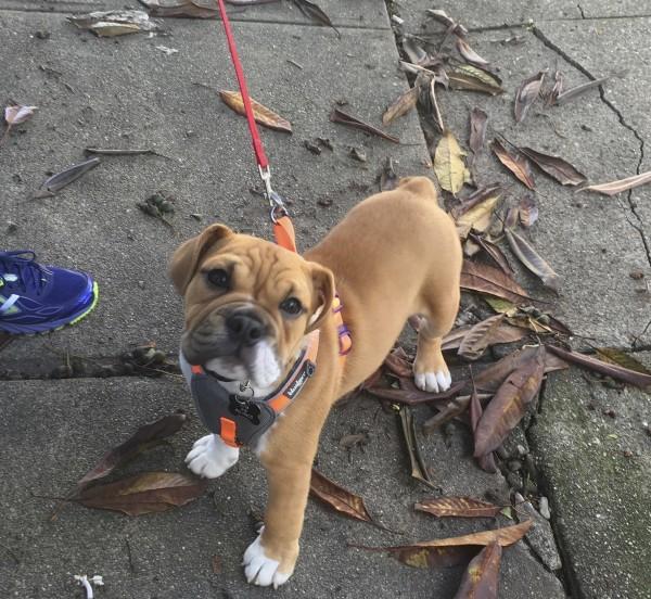 English Bulldog Puppy Looking Plaintive