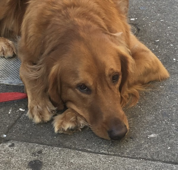 Sad-Eyed Golden Retriever Looking At The Camera