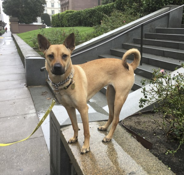 Basenji German Shepherd Mix Dog Standing On A Stone Wall In The Rain In San Francisco