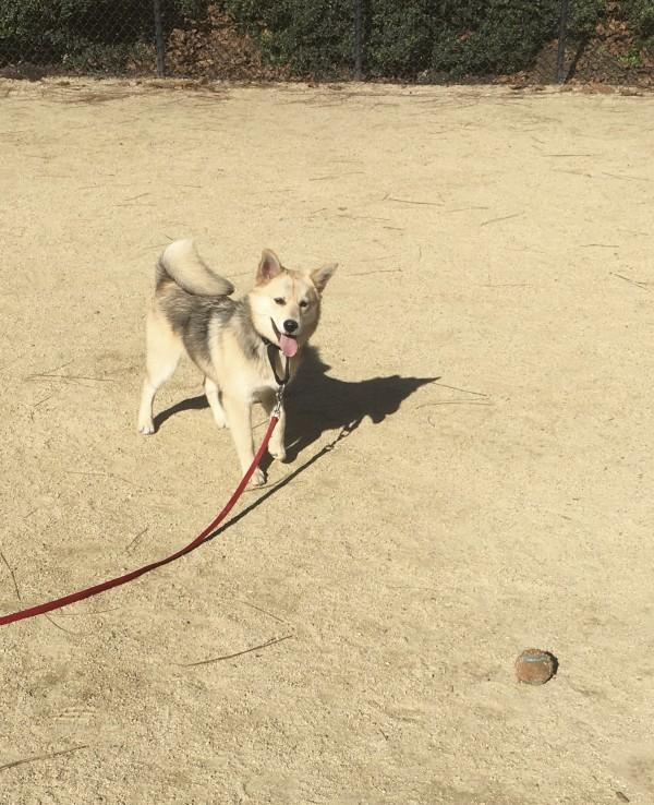 Husky Pomeranian Mix Waiting For Me To Throw His Ball