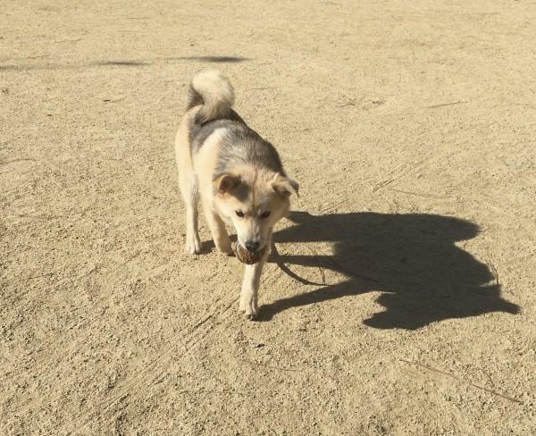 Husky Pomeranian Mix Retrieving A Ball