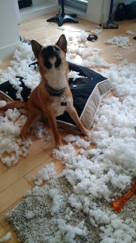 Deputy Brown The Rather Naughty Dog Jindohuskita Covered The Entire Living Room In Cotton Batting