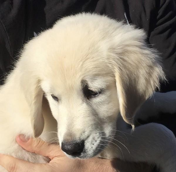 Man Holding 11-Week-Old Golden Retriever Puppy