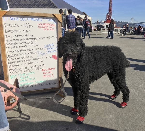 Grinning Black Standard Magnificently Attired Poodle In Red Boots