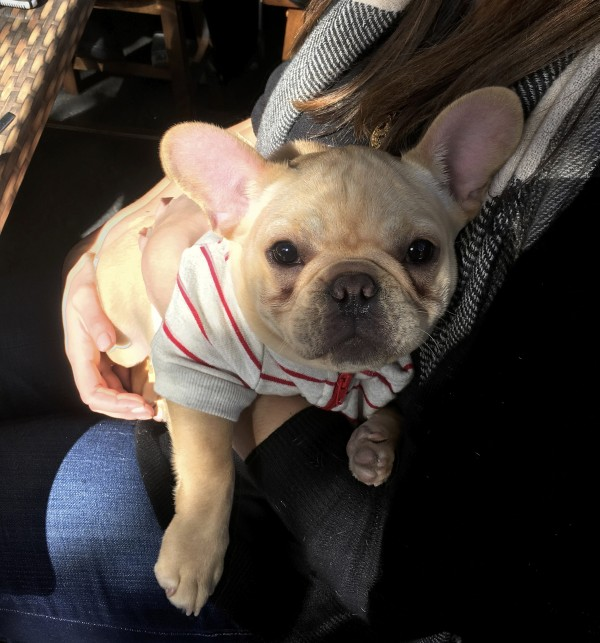 Smiling Blond French Bulldog Puppy