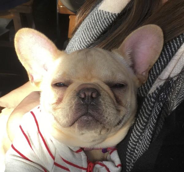 Smiling Blond French Bulldog Puppy
