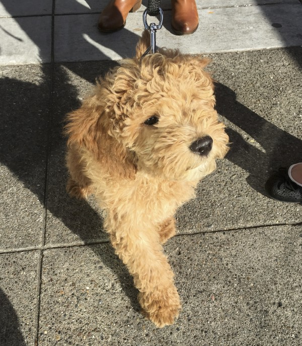 Cute Little Goldendoodle Puppy Walking