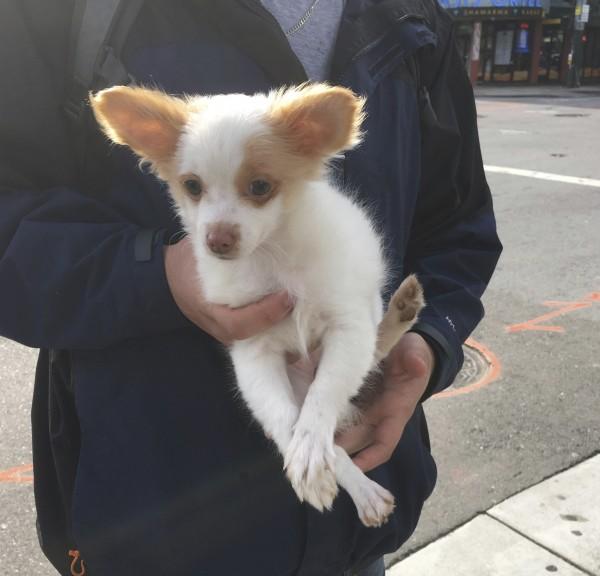 Man Holding Pomeranian Jack Russell Terrier Mix Puppy