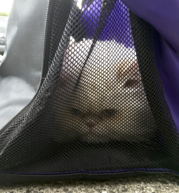 Persian Cat In A Cat Carrier Bag