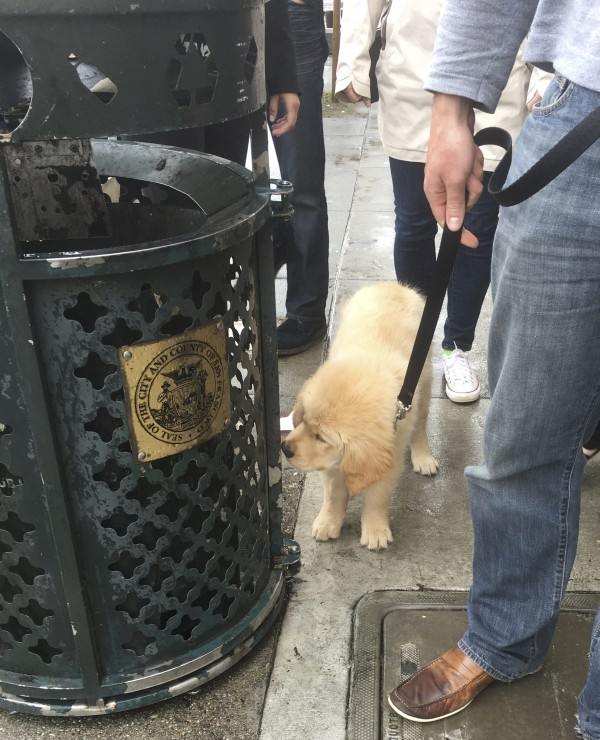 Fluffy Golden Retriever Puppy Sniffing A Garbage Can