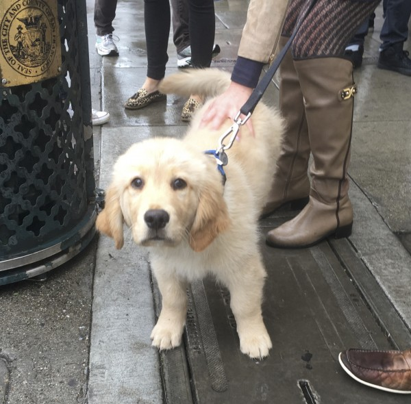 Fluffy Golden Retriever Puppy Gazing Longingly At The Camera