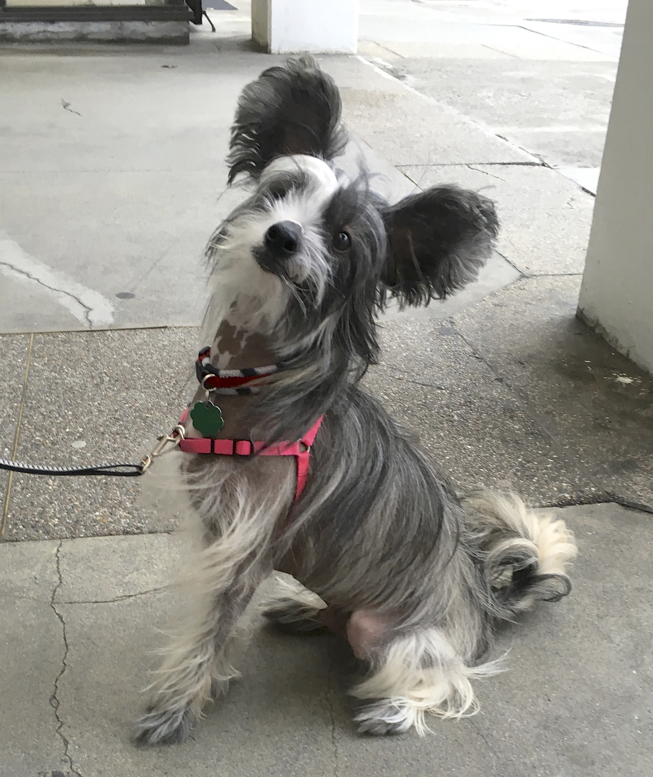 Hairy hairless chinese crested dogs