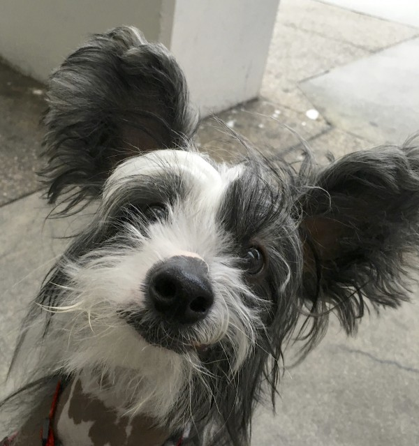 Hairy Hairless Chinese Crested In A Majestic Pose