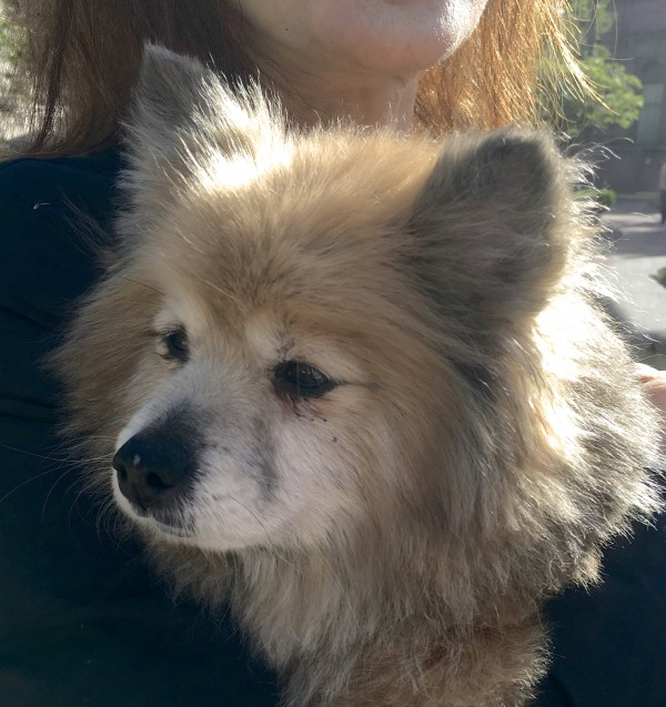 Woman Holding Fluffy Pomeranian Mix Rescue