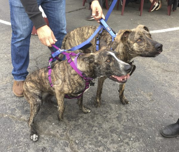 One Brindled Dutch Shepherd Mix And One Brindled Catahoula Leopard Dog Pit Bull Mix Looking Very Intent