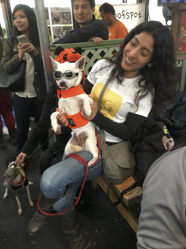 Chihuahua In Goggles Sitting On Woman's Knee