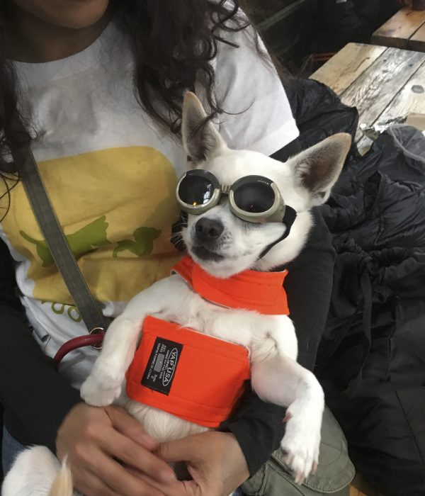 Chihuahua In Goggles