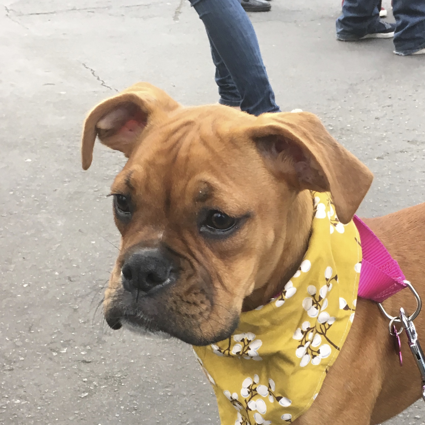 Fawn Boxer Puppy In Yellow Bandana