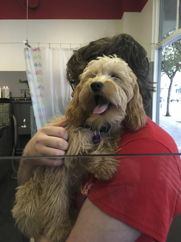 Man Holding Small Goldendoodle