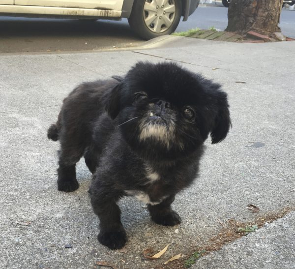 Black Pekingese With Grey Chin And One Fang Tilts Her Head