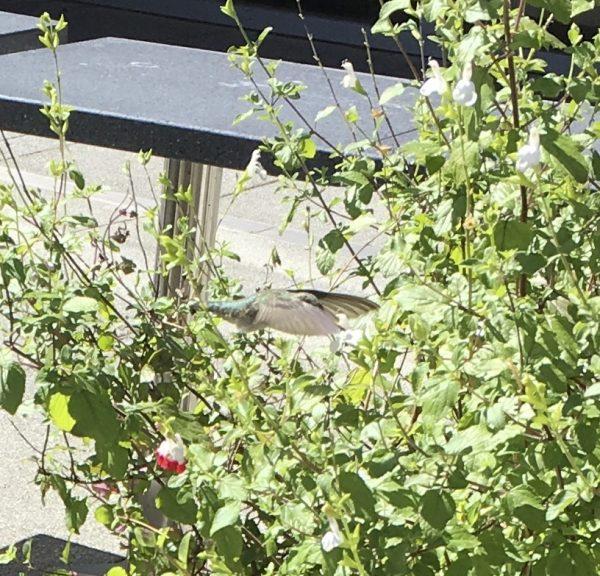 Anna's Hummingbird Flying