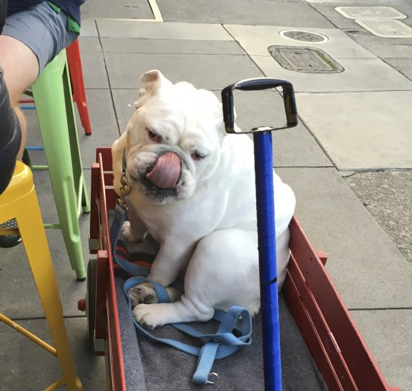 White English Bulldog In A Red Wooden Radio Flyer Wagon Licking Her Nose
