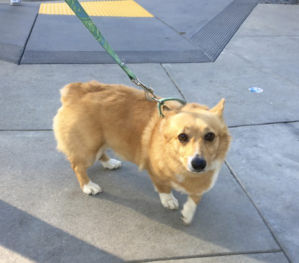 Red Pembroke Welsh Corgi