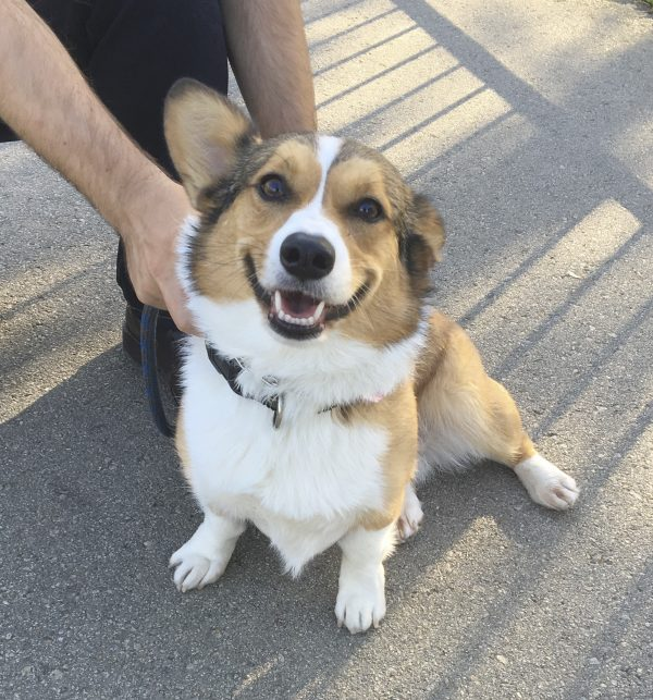 Tricolor Pembroke Welsh Corgi With One Ear Up Smiling