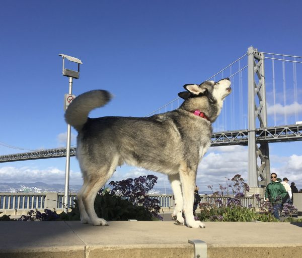 Siberian Husky With Bay Bridge In The Background