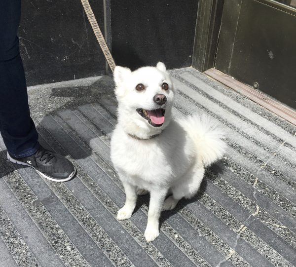Japanese Spitz Sitting And Grinning