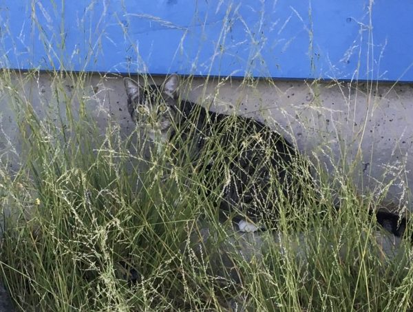 Cat Hiding In Long Grass