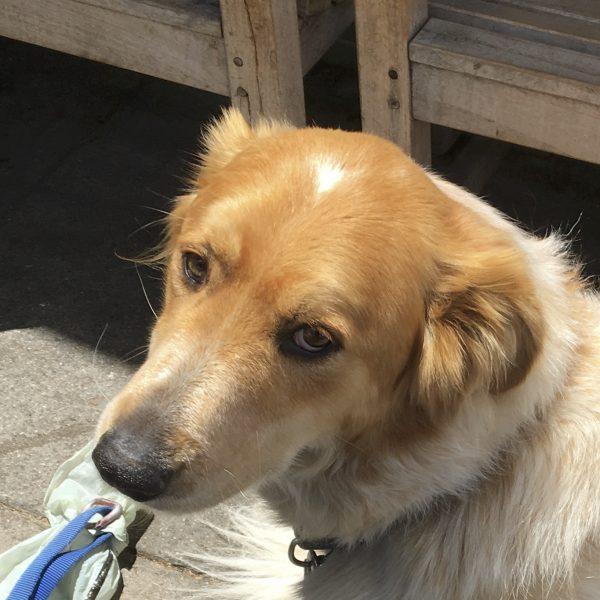 Golden Retriever Australian Shepherd Mix Dog Looking Soulful
